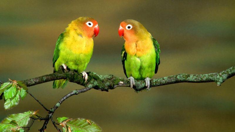 burung cinta