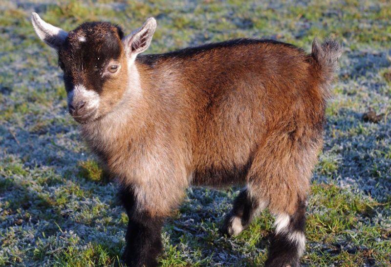 jenis kambing pygmy