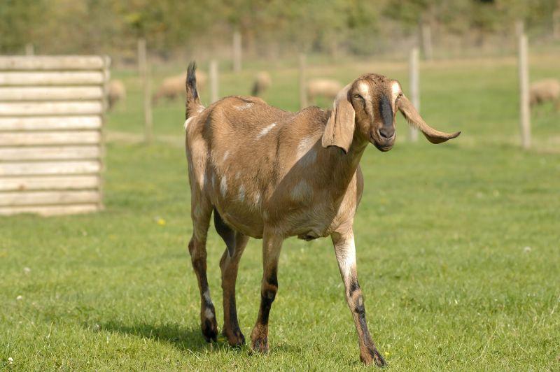 jenis kambing nubian