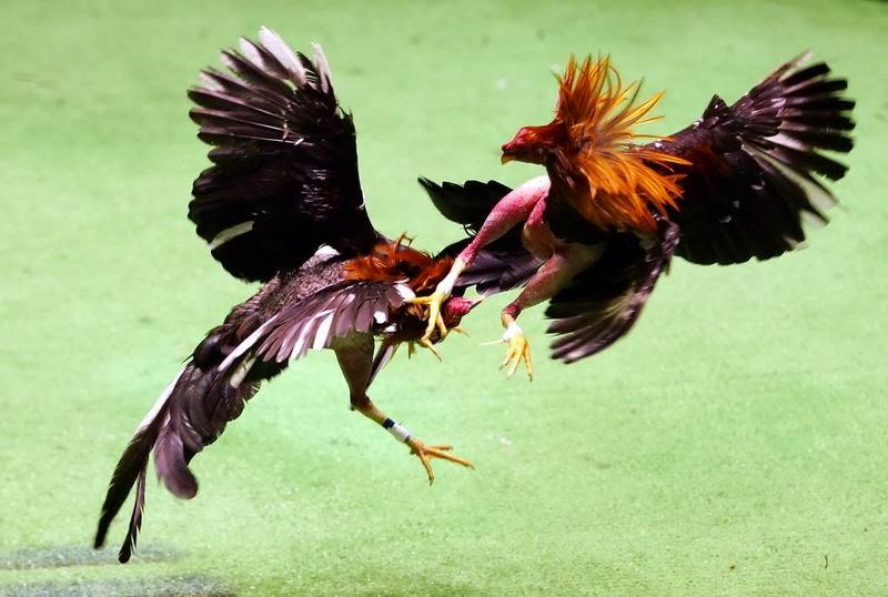 cara merawat ayam aduan