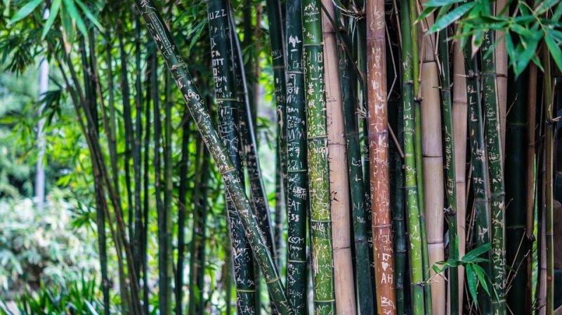 gambar bambu