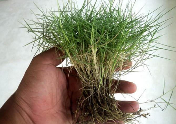 25+ Macam-macam Rumput Liar dan Hias Paling Banyak Dicari