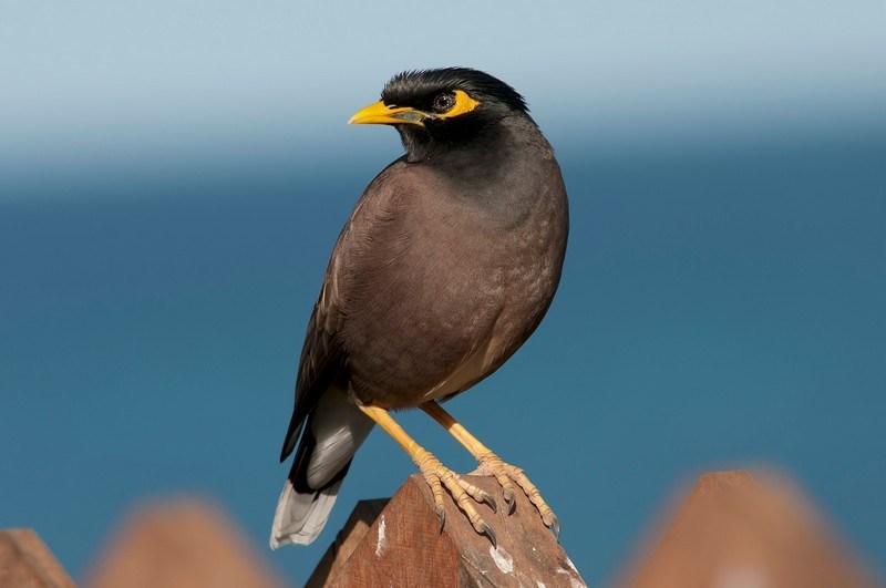 burung jallak