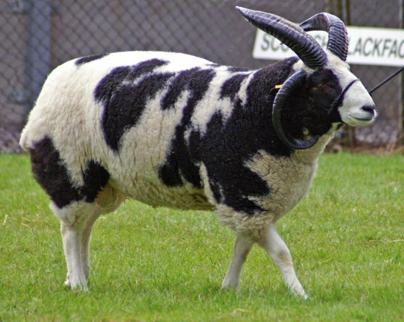 jenis kambing kiko