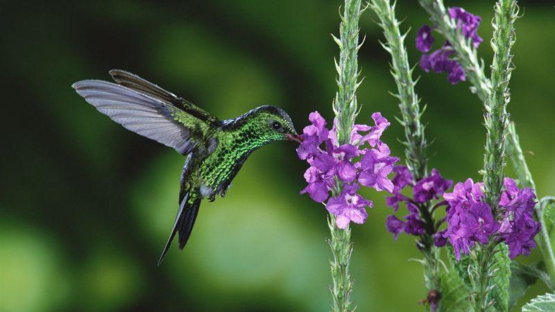 burung colibri