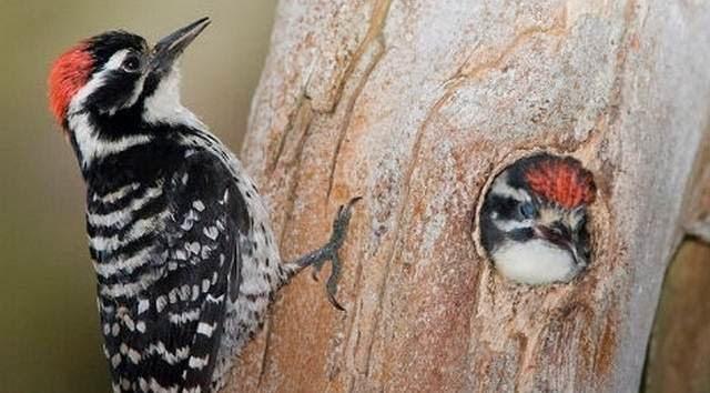burung totor
