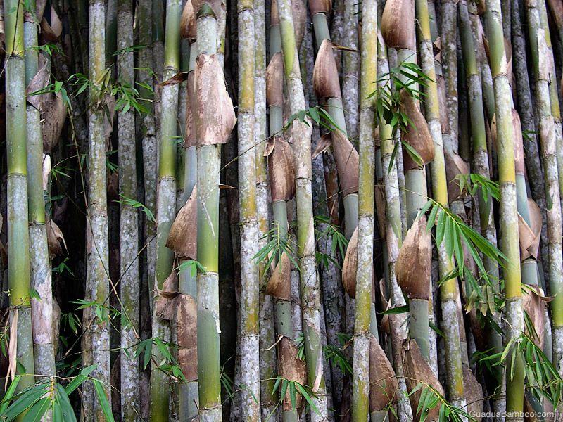 jenis bambu