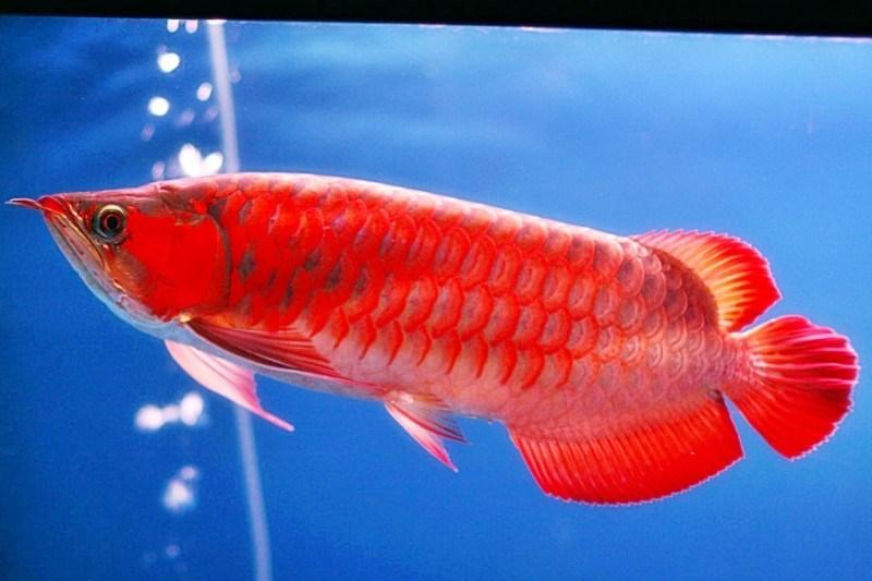 ikan arwana red