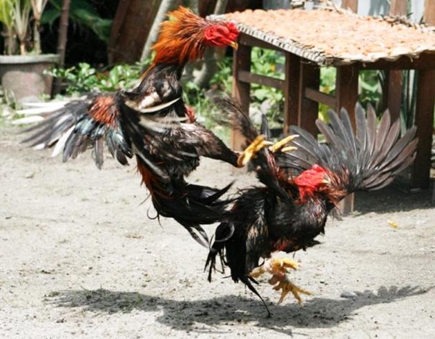 cara merawat ayam jago aduan