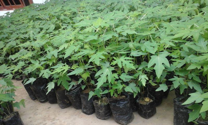 budidaya tanaman pepaya