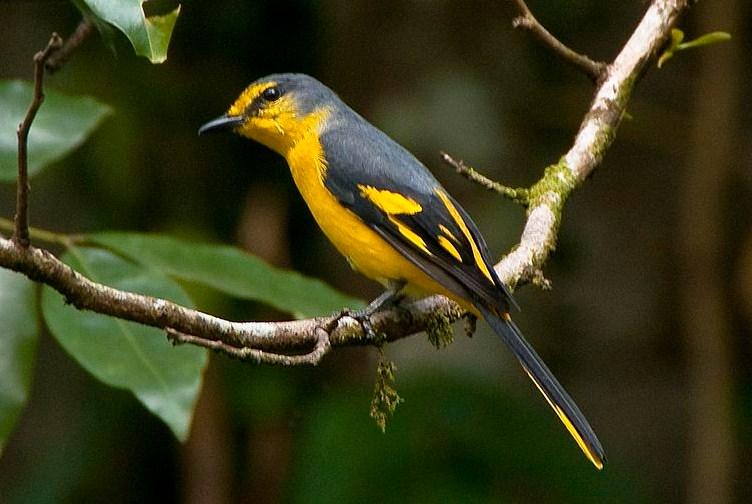 burung sepah hutan, kecil, padang