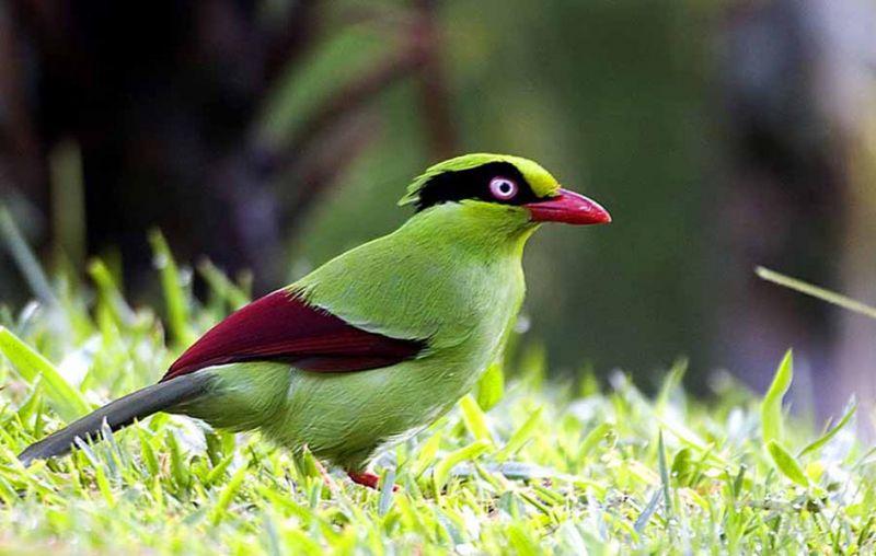 ekek bird