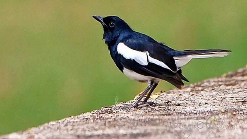 kacer bird