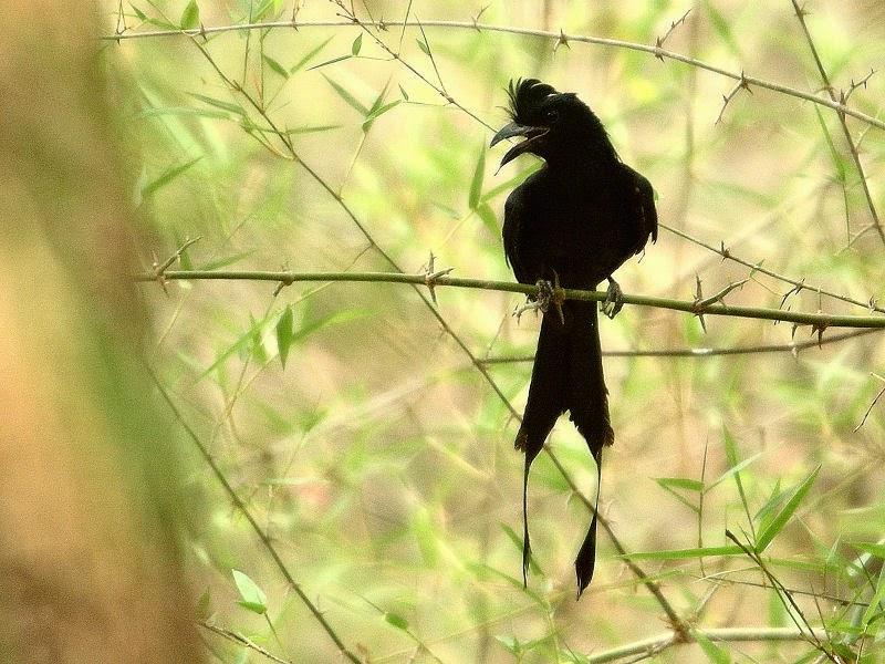 burung srigunting