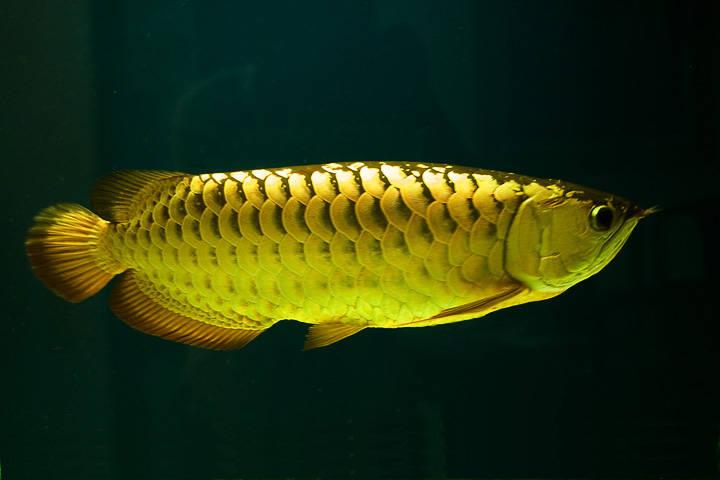 ikan arwana golden
