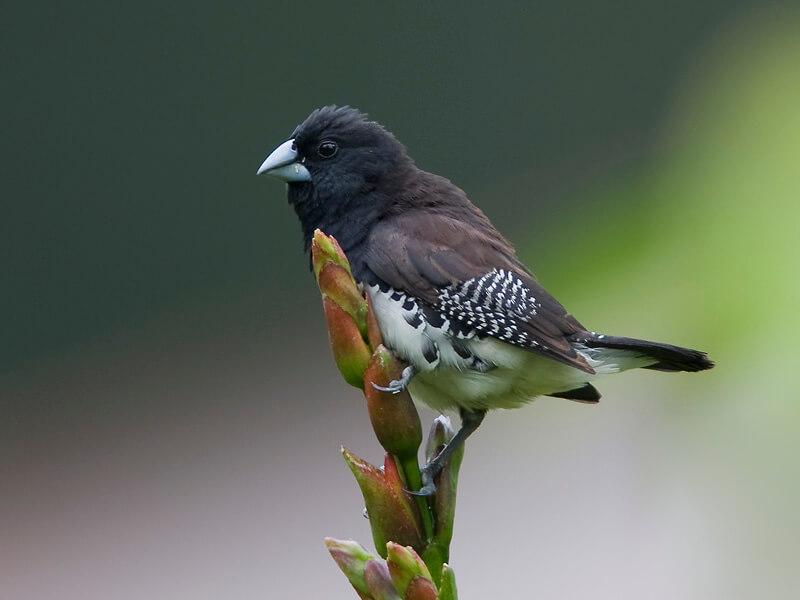 gambar burung pipit hd
