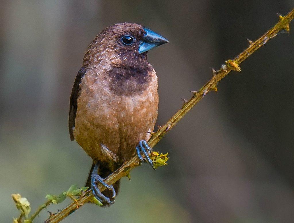 gambar burung pipit