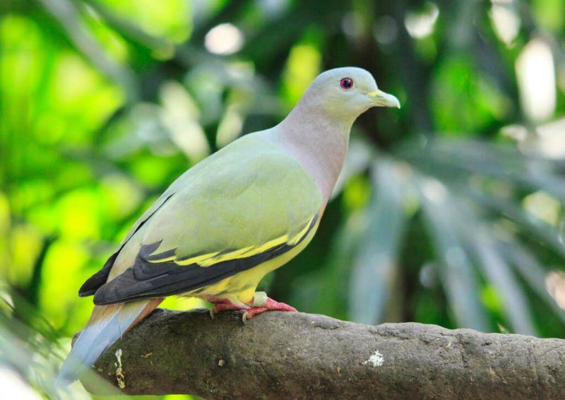 gambar burung dara