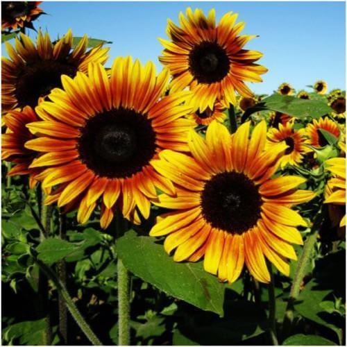 Bunga Matahari Macam Macam Cara Budidaya Manfaat Biji Dan Minyak