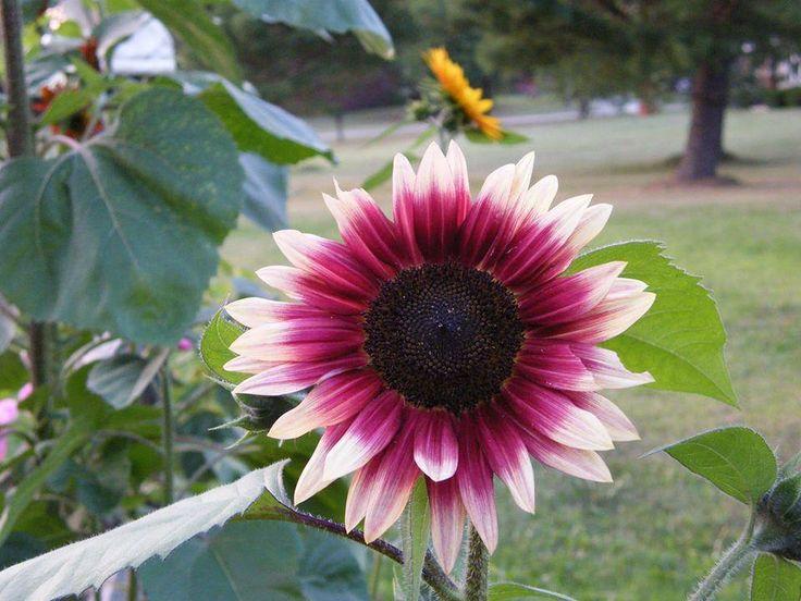 Bunga matahari Cherry Rose