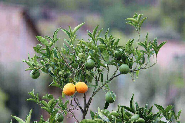 cara menanam pohon jeruk