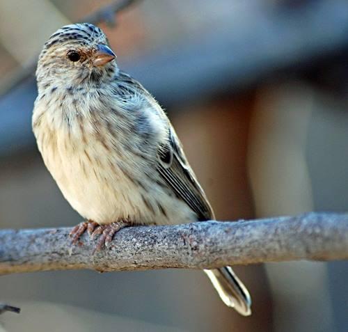 Burung Blackthroat